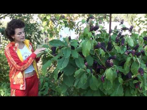 видео: Удивительное растение - лаконос. Сайт sadovymir.ru