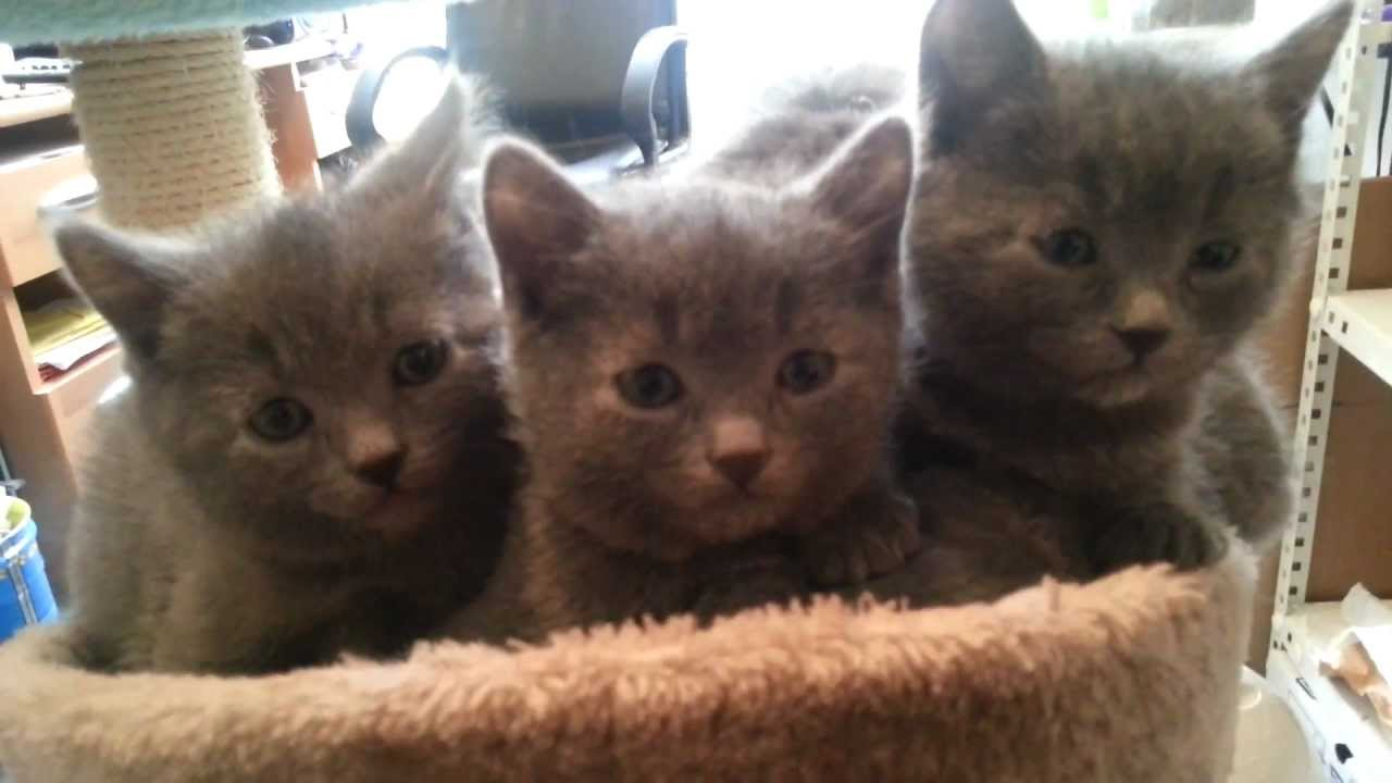 Chartreux Chaton Chatons Chartreux De 6 Semaines