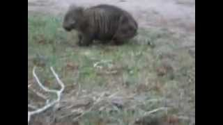 Rottweiler Vs Wombat