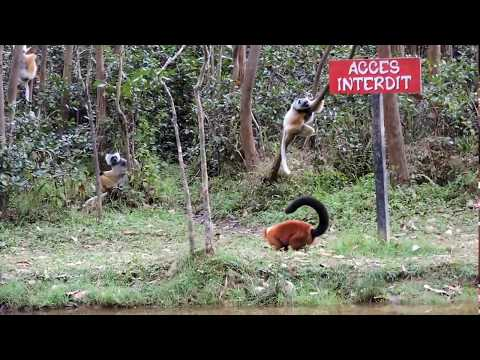 Some Lemurs at the Isle of Lemurs in Andasibe, Madagascar