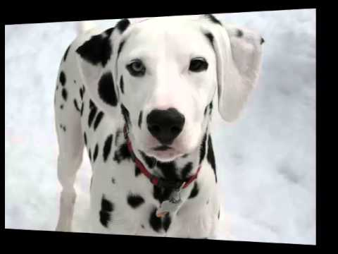 Dalmatian Fast Facts