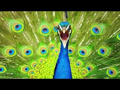 Peacock Call PEACOCK SOUNDS-Sounds Dogs Love
