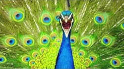 Peacocks sound - Free Music Download