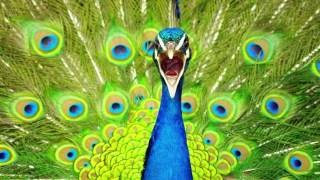 Peacock Call PEACOCK Sounds- and Pictures for learning