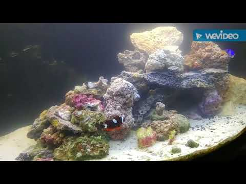 Saltwater Green Spotted Puffer & Cheap Coral Tips