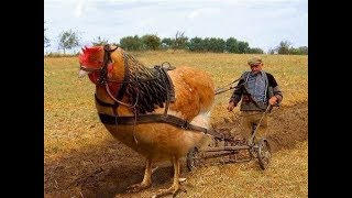Chicken Breeds You Will Not Believe Exist  ये मुर्गे नहीं देखे तो कुछ नहीं देखे