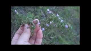 Прогулка в лесу - 3. Собираем Богородскую травку.