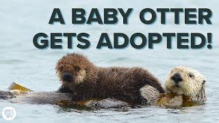 A Sea Otter's Adorable Adoption Story