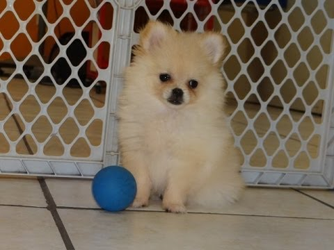 pomeranian puppies for sale in alabama pomeranian puppies dogs for sale in jackson 9088