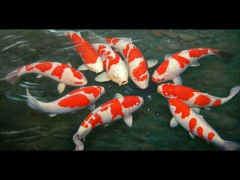 Koi fish farm in asia youtube for Koi carp farm