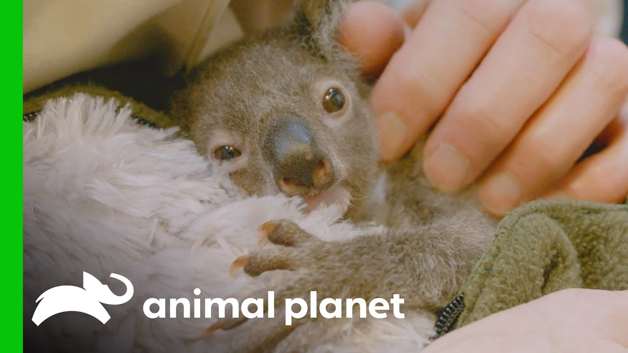 Raising an Orphaned Koala Joey (Part 1)   The Zoo: San Diego