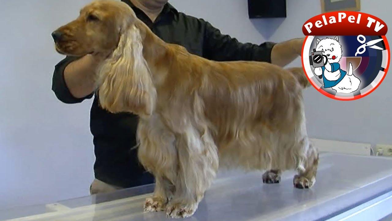 peluquerÍa canina cocker ingles - grooming realizado por jordi rueda