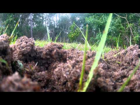 Inside a Fire Ant Mound with millions of ants in Lehigh Acres, Florida