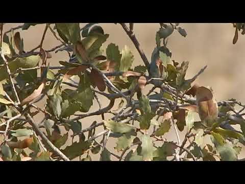 Male Lesser Goldfinch song @ Audubon Center L.A.