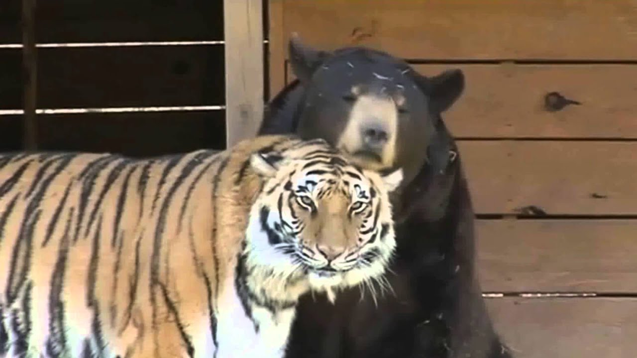 BEST FRIENDS TIGER LION AND BEAR LIVING TOGETHER IN HARMONY YouTube - Lion tiger bear best friends