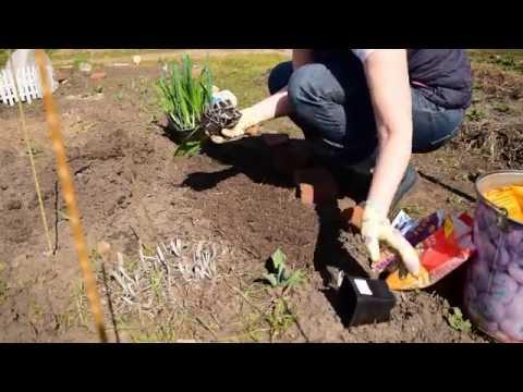 высаживаем фрезии в открытый грунт