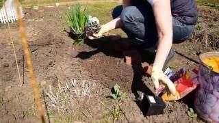 видео Тигридия: посадка и уход в открытом грунте, выращивание