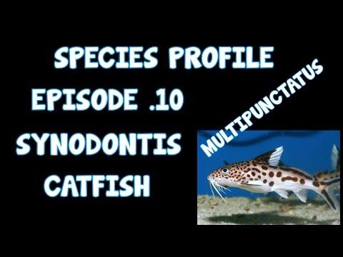 SPECIES PROFILE│SYNODONTIS CATFISH│EP10