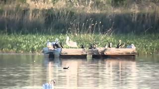 Dalmatian Pelican (kroeskoppelikaan) Burgas Bulgaria