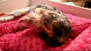 Incredible Birth Of Morkie (maltese / Yorkie Puppy) Puppies