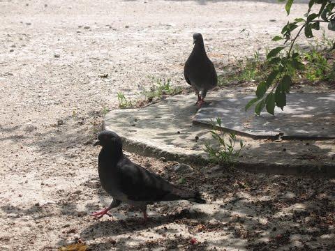 Любители семечек пара голубей
