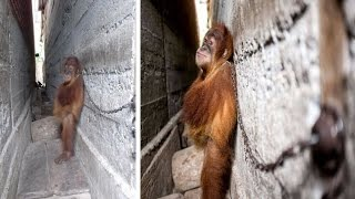 Baby Orangutan Chained to Wall for a YEAR and Hugged Himself to Sleep Before Rescuers Set Him Free