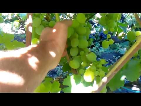 сорт винограда кеша талисман