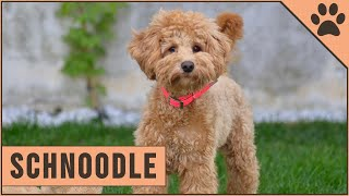 Schnoodle Dog Breed  The Schnauzer Poodle Mix Breed