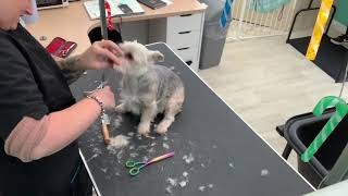 YORKIE X MALTESE. Full Groom. Dog Grooming UK. HAIRY HOUNDS. Yorkshire Terrier Cross Maltese. Morkie