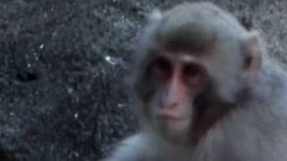 Repeat youtube video cute! Japanese macaque mom and kid.Chiba zoological park.可愛い。ニホンザル母子。千葉市動物公園。