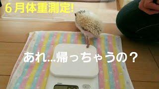 ハリネズミのチロルの6月体重測定! どれくらい大きくなってるかな? 体重測定後もかわいい   H30.6月.