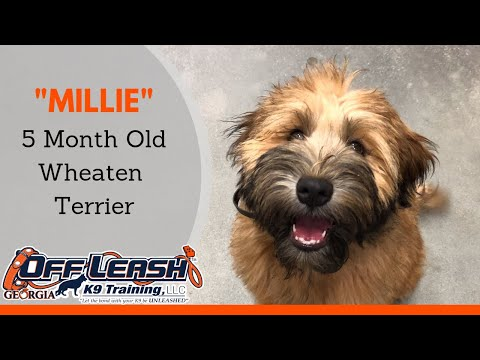 5 Month Old Wheaten Terrier 'Millie' Before/After Video | Dog Trainer Georgia
