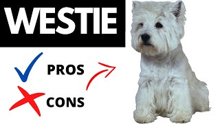 West Highland Terrier Pros And Cons | The Good AND Bad Of Owning A Westie!!