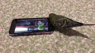 Как научить попугая разговаривать!
