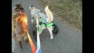 Salinka In Her Dog Wheelchair From Petmrc / K9 Cart West