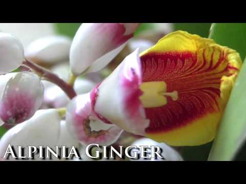 **Alpinia zerumbet Ginger Lily**  Plants  ++  Fragrant Leaves & Flowers ++