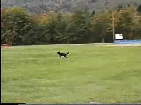 Lilly the Wonder Dog fetches a ball to humour her people