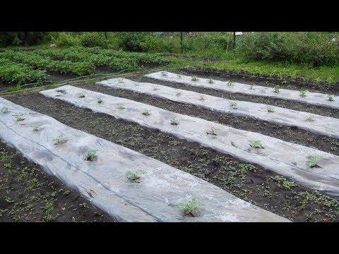 Очень интересный способ выращивания арбузов в открытом грунте