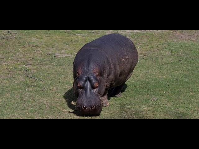 Hippopotamus Dreaming
