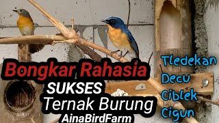 Bongkar Rahasia Sukses Ternak Burung Tledekan,Decu,Ciblek,Cigun