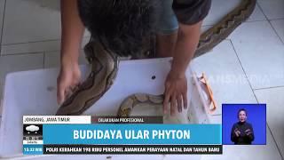 Budidaya Ular Phyton  Redaksi Sore 131219