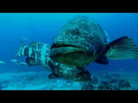 Goliath Grouper Aggregation in Florida, USA
