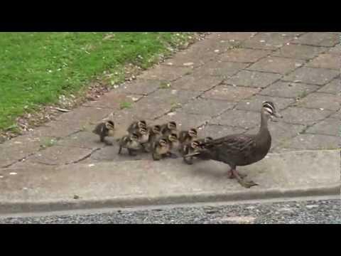 Pacific Black Duck & Babies