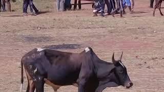 马达加斯加为牛群植入芯片防止盗窃
