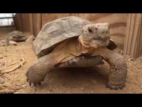 Desert Tortoise Pre-hibernation Exams