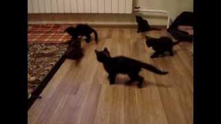 Котята играют в футбол