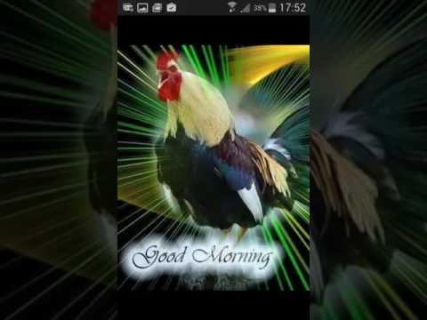 Il gallo che canta