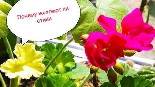 Почему желтеют молодые листья у пеларгонии