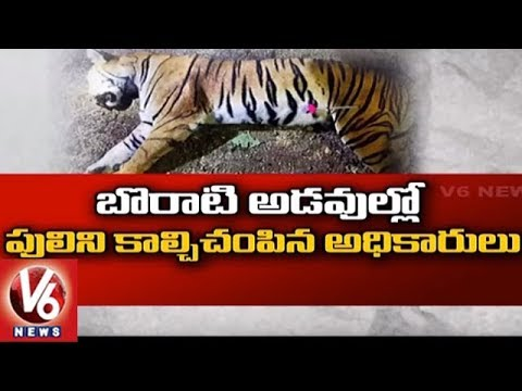 Man-Eating Tigress Avani That Killed 13 People Shot Dead in Maharashtra | V6 News