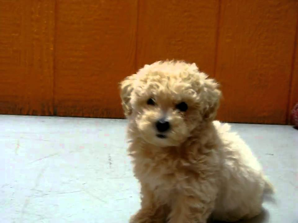 Maltipoo, Maltipoo Puppies and Maltipoos For Sale including Teacup